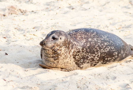 Photo for A Harbor seal (Phoca vitulina) lounging at Casa Beach, also known as the Children's Pool, in La Jolla California - Royalty Free Image