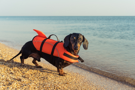Photo pour dachshund breed dog wearing orange life jacket while standing on beach at sea - image libre de droit