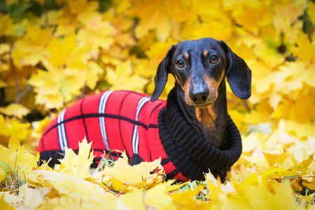 Photo pour Dachshund dog, black and tan, dressed in a red knitted sweater  in a pile of fall leaves  in the autumn park - image libre de droit