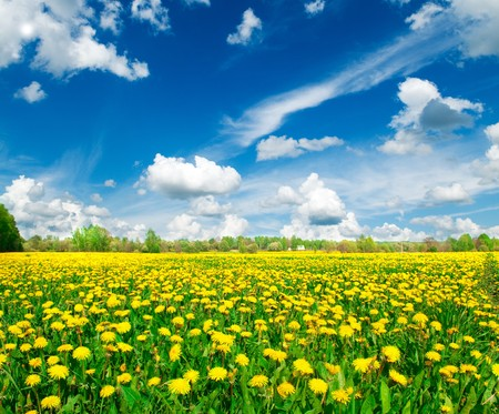 Photo pour Meadow with yellow dandelions. - image libre de droit