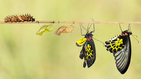 Photo pour Life cycle of common birdwing butterfly from caterpillar - image libre de droit