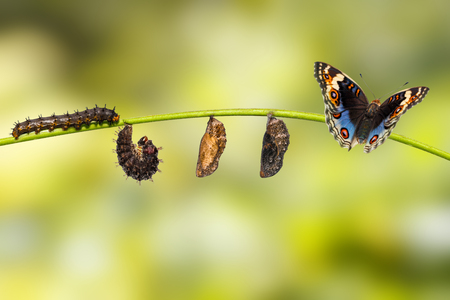 Foto de Life cycle of male blue pansy butterfly ( Junonia orithya Linnaeus ) on twig - Imagen libre de derechos