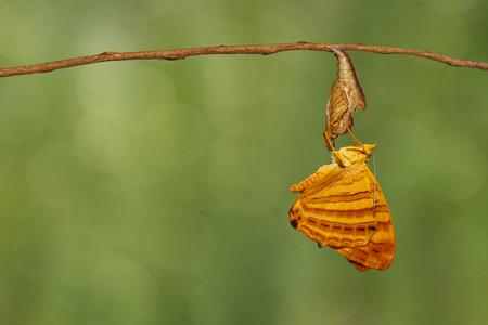 Foto de Common maplet (Chersonesia risa ) butterfly hanging on twig - Imagen libre de derechos