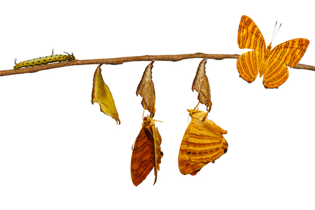Foto de Isolated life cycle of common maplet (Chersonesia risa ) butterfly hanging on chrysalis shell and twig with clipping path - Imagen libre de derechos