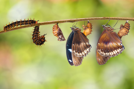 Foto de Transformation from caterpillar to great eggfly butterfly ( Hypolimnas bolina Linnaeus ) hanging on twig - Imagen libre de derechos