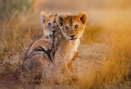 Photo pour lion cubs cuddling - image libre de droit