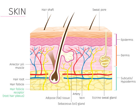 Illustration pour Human Anatomy, Skin And Hair Diagram, Complexion, Physiology, System, Medical, Healthy, Beauty, Cosmetic, Makeup, Treatment - image libre de droit