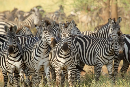 Foto de A herd of common zebras (Equus Quagga) in Serengeti National Park, Tanzania - Imagen libre de derechos