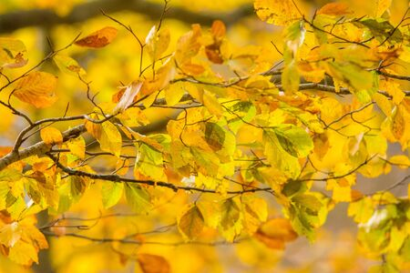 Photo for Foliage in Monti Simbruini national park, Lazio, Italy. Autumn colors in a beechwood. Beechs with yellow leaves. - Royalty Free Image