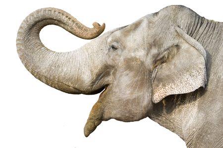 head of elephant