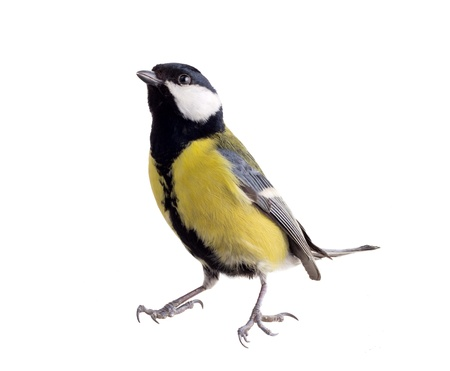 Photo pour titmouse on a white background close up. spring. - image libre de droit
