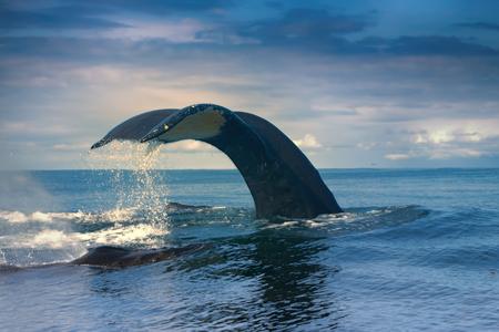 Foto de huge Hump-backed whale (Megaptera novaeangliae) tail i - Imagen libre de derechos