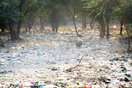 Foto de Dumping of household waste n acacia grove and a free-range pig, India - Imagen libre de derechos