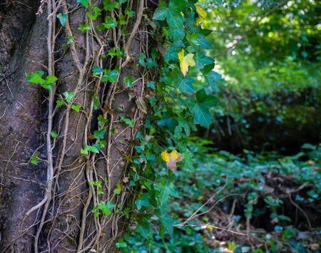Photo pour A beautiful photo of an ivy that grows along the tree trunk - image libre de droit
