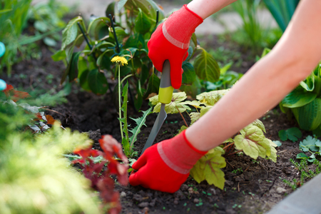Photo for Photo of gloved woman hands with tool removing weed from soil - Royalty Free Image