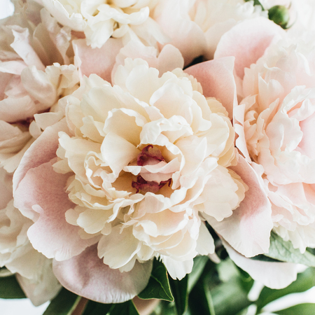 Photo for Closeup of pink peony flowers on white background. - Royalty Free Image