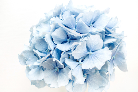 Photo for Blue hydrangea flower. - Royalty Free Image