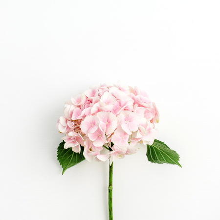 Photo pour Pink hydrangea flower isolated on white background. Flat lay, top view. - image libre de droit