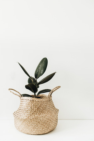 Foto de Ficus robusta in straw basket on white background. Home plant minimal interior concept. - Imagen libre de derechos