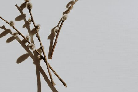 Photo pour Dry pussy-willow branch on dusty grey background. Flat lay, top view minimal neutral floral composition. - image libre de droit