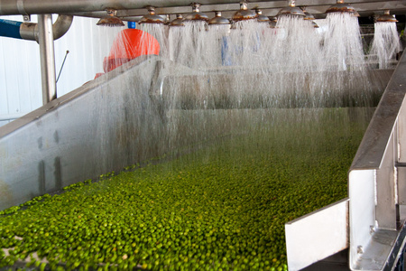 Photo pour Working process of the production of green peas on cannery. Ripe green peas washing in water before preservation. Movement on the conveyor. - image libre de droit