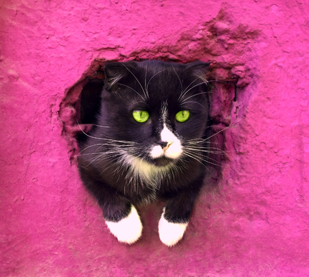 Foto de black and white cat on a pink background. Serious wise cat got out to see the world. sad cat looks out of the basement window - Imagen libre de derechos