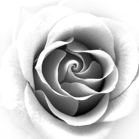 Foto de Black and White Close up Image of the Beautiful Rose. Flower Background - Imagen libre de derechos