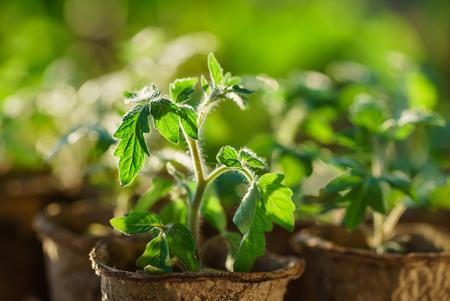 Foto de Tomato plants in the early stages of growth. - Imagen libre de derechos