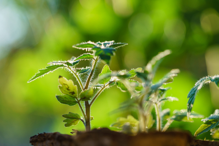 Photo pour Tomato plants in the early stages of growth. - image libre de droit
