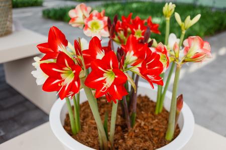 Photo for amaryllis flowers - Royalty Free Image