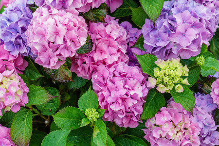 Photo pour hydrangea flowers - image libre de droit