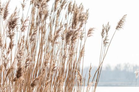 Foto de Seedy reed stalks  - Imagen libre de derechos