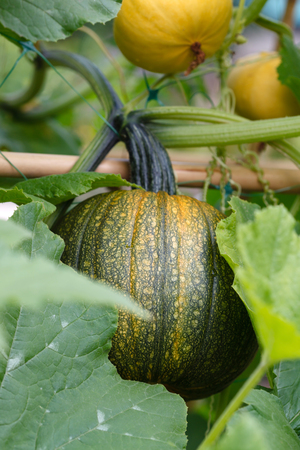 Photo for pumpkin in the garden - Royalty Free Image