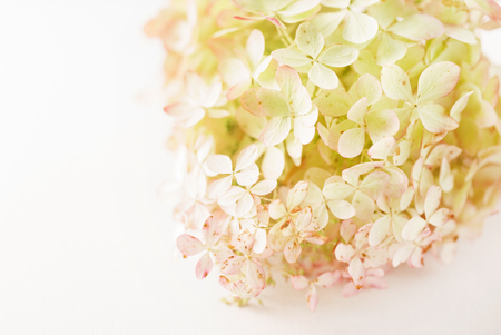 Photo for hydrangea flowers on the white background - Royalty Free Image
