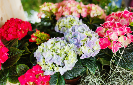 Photo for hydrangea flowers closeup - Royalty Free Image