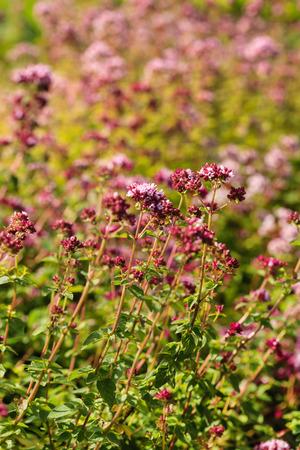 Photo pour oregano plants closeup - image libre de droit