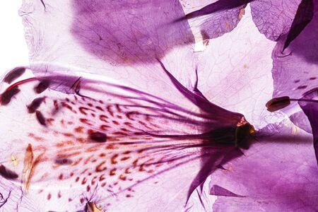 Photo pour Rhododendron flower on the white - image libre de droit