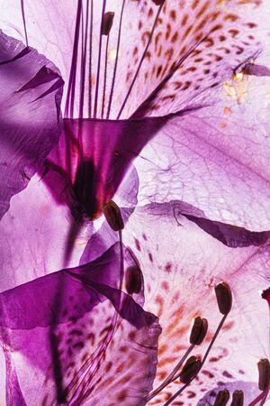 Photo pour rhododendron flower on the white background - image libre de droit