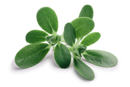 Photo for Common purslane (Portulaca oleracea) leaves. Clipping paths, shadow separated - Royalty Free Image