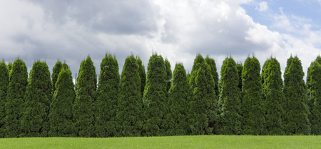 Photo pour Fragment of a rural fence hedge from evergreen plants the Thuja. - image libre de droit
