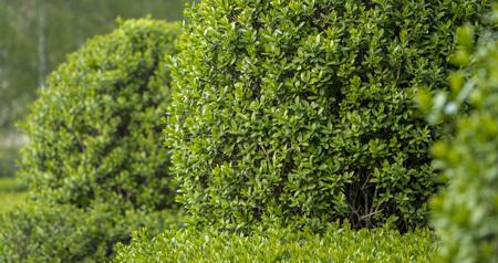 Photo pour Wild Privet Ligustrum hedge close up nature texture A sample of topiary art - image libre de droit