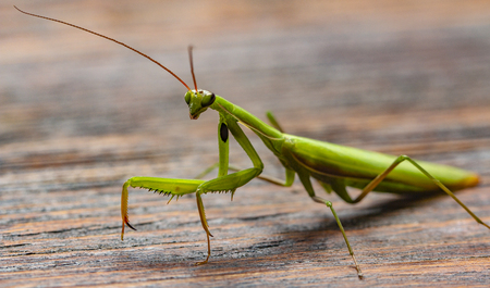 Foto de Mantis on the wooden background close up - Imagen libre de derechos
