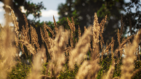 Photo pour High grass on a summer green meadow filled with light close up - image libre de droit