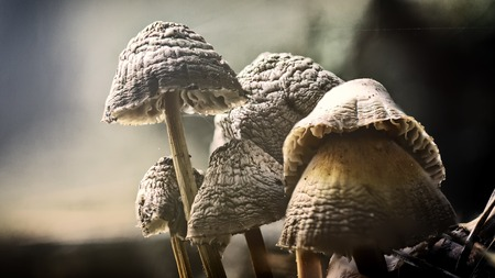 Photo pour Galerina marginata is deadly poisonous mushroom. In stump - image libre de droit