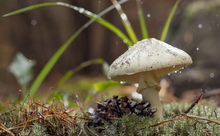 Photo for Amanita Phalloides fungus, poisonous subject in wild mountain close up on a rainy day - Royalty Free Image