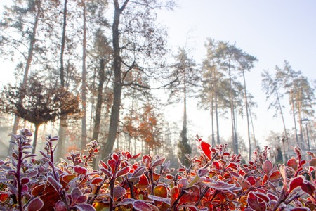 Photo for Close up of barberry leaves covered with morning frost - Royalty Free Image