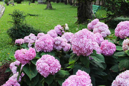 Photo for Beautiful Pink colors of Hydrangea Flowers is a genus of many species of flowering plants  on green leaf background in natural park from Bangkok Thailand - Royalty Free Image