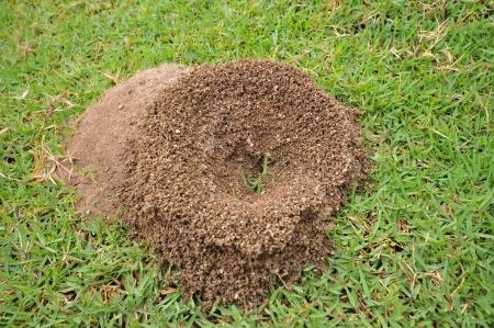 ant\'s nest on greensward