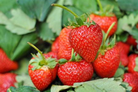 Foto de Fresh strawberry from the farm on the mountain. - Imagen libre de derechos