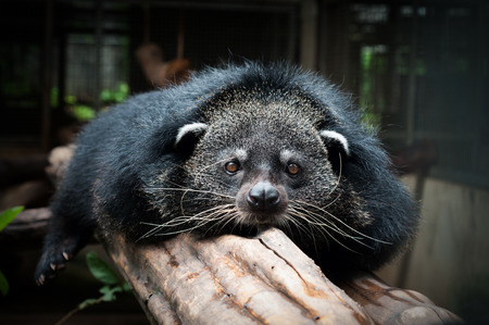 Photo pour Binturongs spend most of their time in the trees - image libre de droit